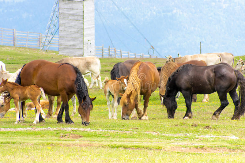 Pasture of the horses and cows stock photography