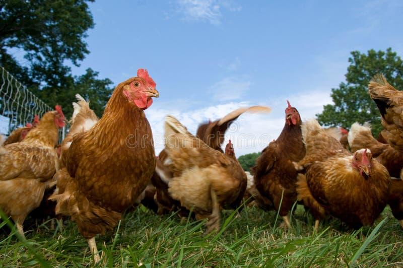 Pasture raised chickens feeding stock image