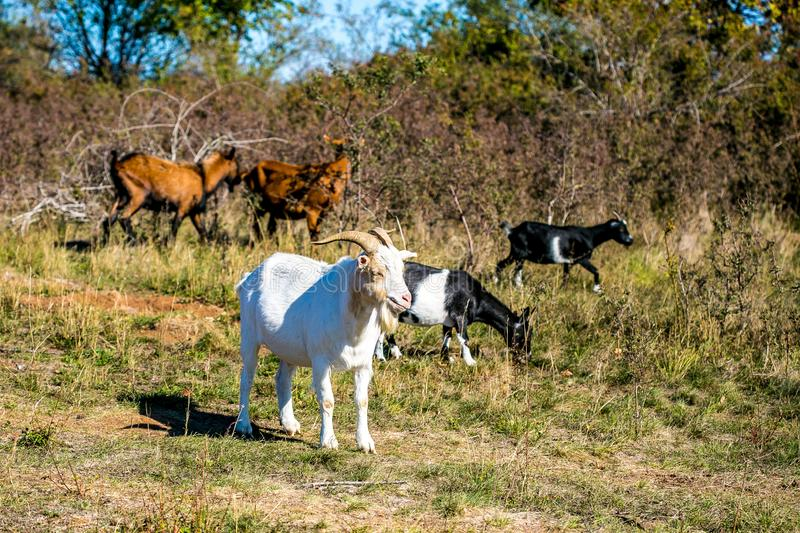 Pasture with white, brown and black goats grazing royalty free stock photography
