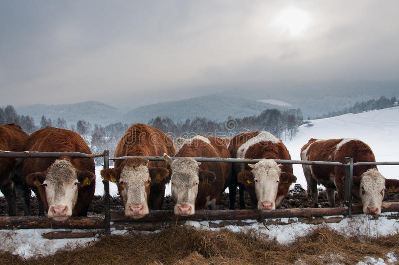 Download Pasturing cows in winter stock photo. Image of cows, herd - 33730102