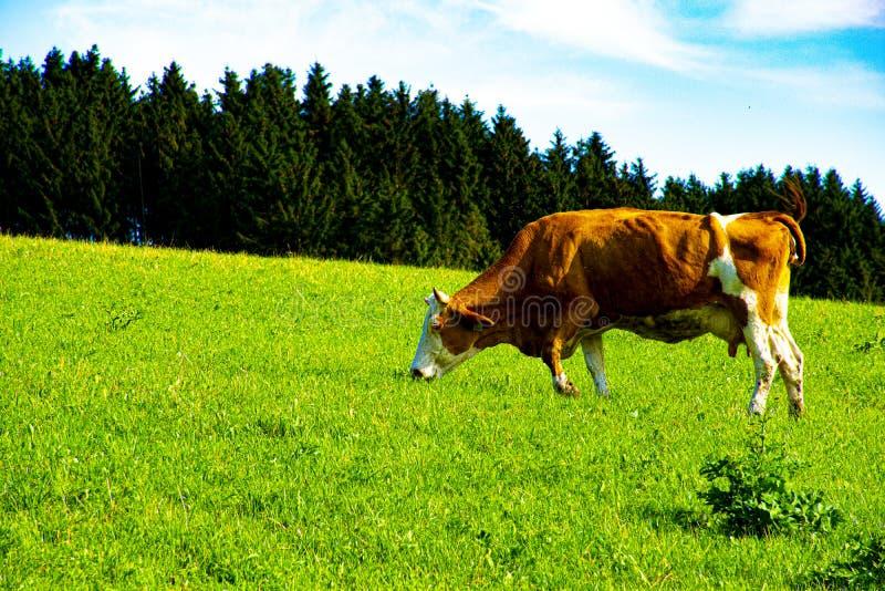 Pastwiskowa krowa w Asiago numer dwa obraz royalty free