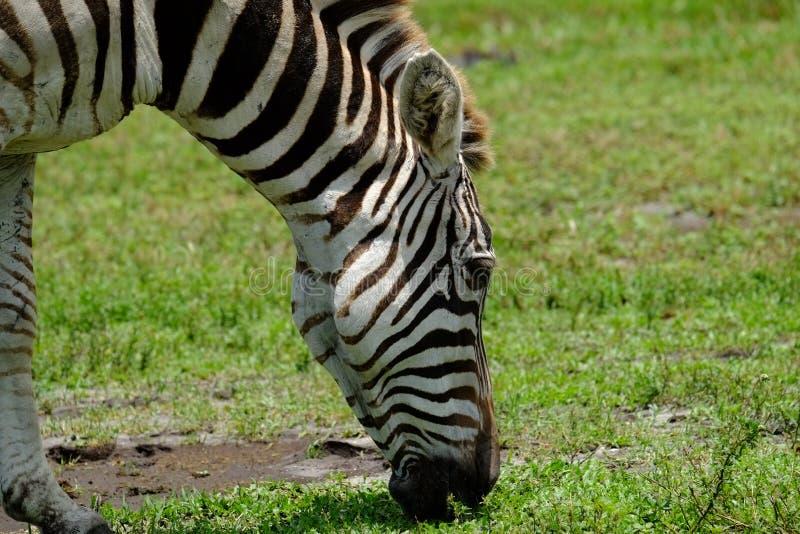 Pastwiskowa zebra Przy paśnikiem zdjęcia royalty free