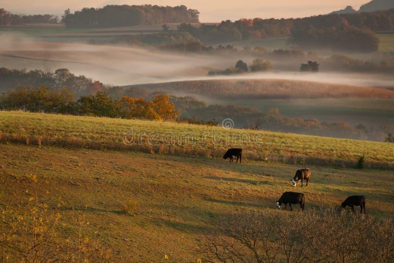 Pastwiskowe krowy w wczesnym poranku obraz royalty free