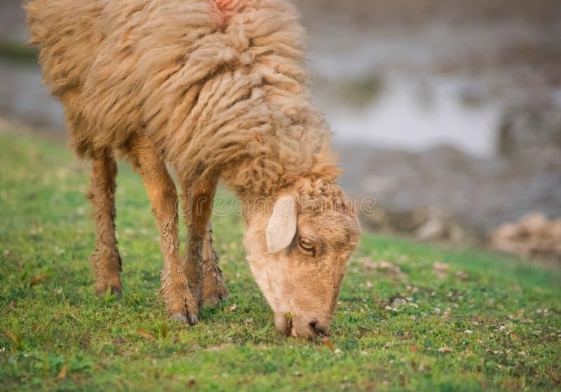 Pastwiskowi cakle obrazy royalty free