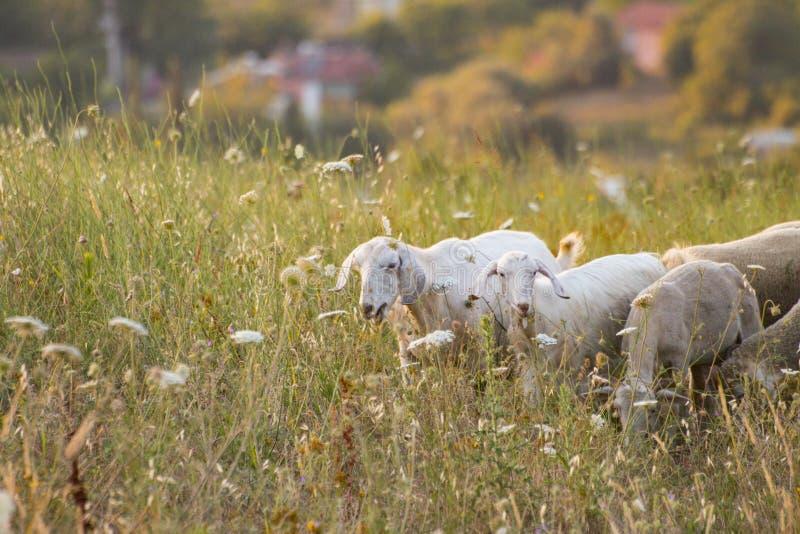 Pastwiskowi cakle zdjęcia royalty free