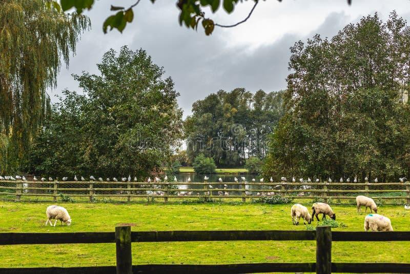 Pastwiskowi cakle na zielonym gazonie ziemia uprawna fotografia stock