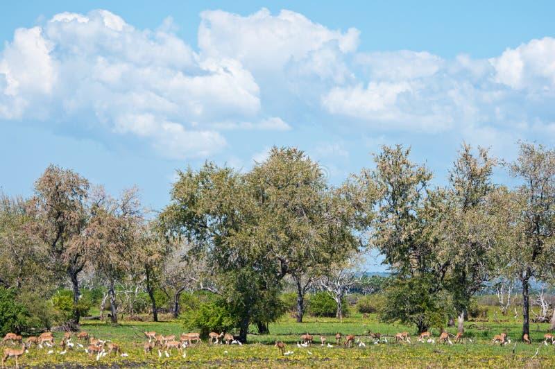 Pastwiskowi impalas i ptaki w wschodnim Africa - park narodowy gry selous rezerwa w Tanzania zdjęcia royalty free