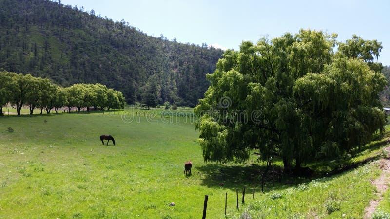 pastwiskowi koni zdjęcia royalty free
