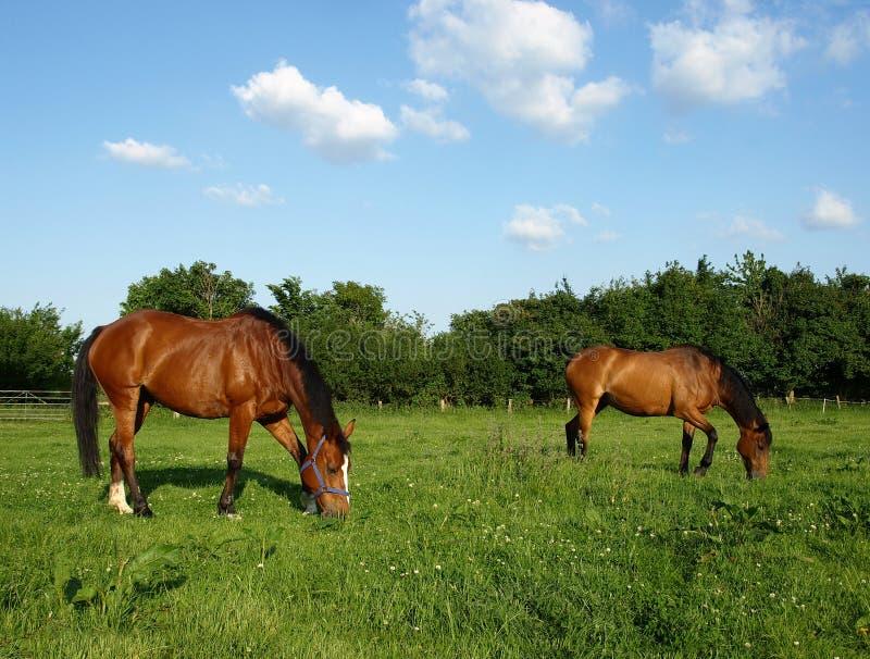 pastwiskowi konie zdjęcia royalty free