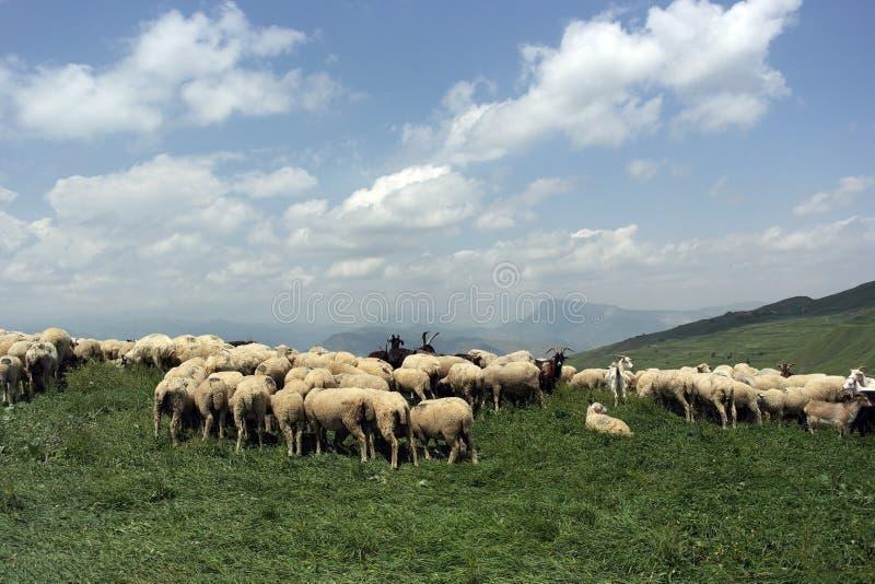pastwiskowi stado owiec fotografia royalty free