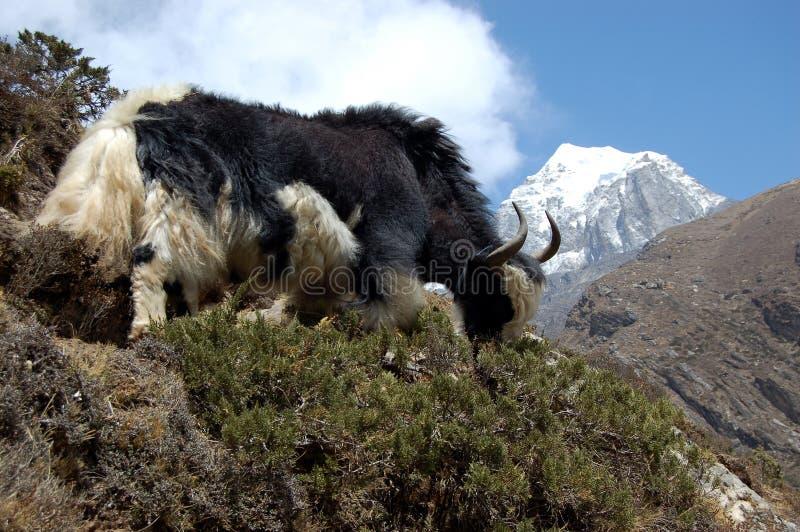 pastwiskowi yak fotografia royalty free