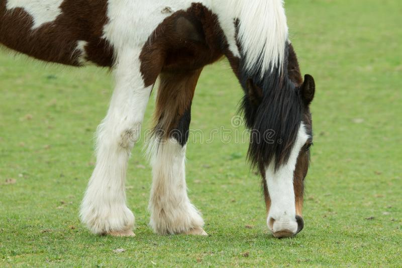Pastwiskowy koń, Ovingdean, East Sussex, UK obraz stock