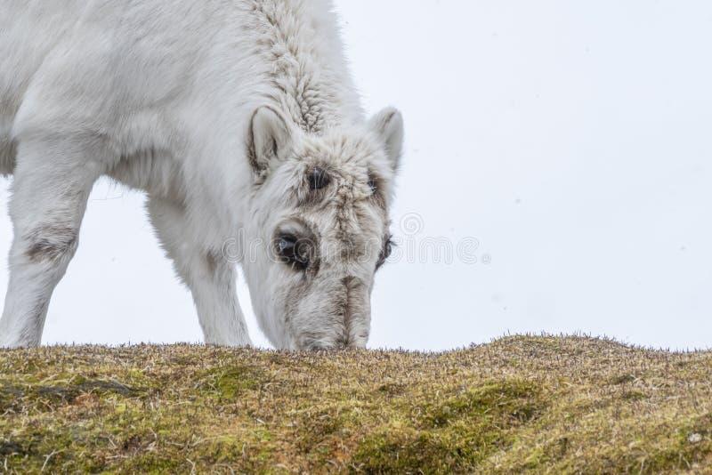 Pastwiskowy młody Svalbard renifer fotografia royalty free