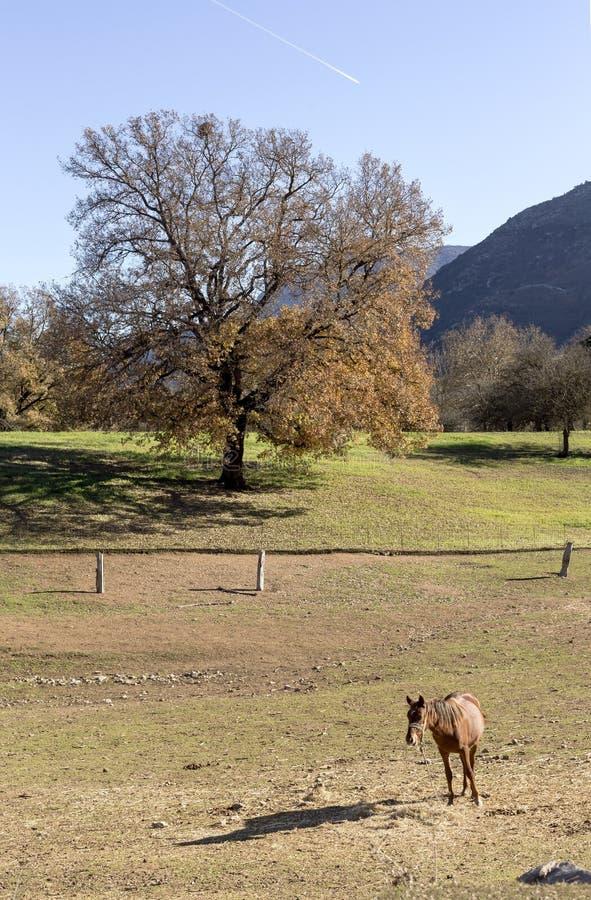 Pastwiskowy muł zdjęcie royalty free