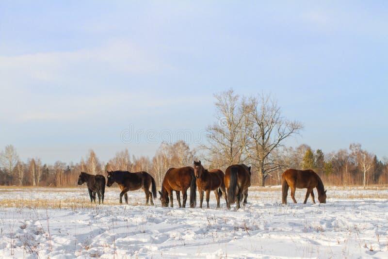 Pastwiskowy stado podpalani konie w zimie na śnieżnym polu na lasowym tle na słonecznym dniu obraz royalty free