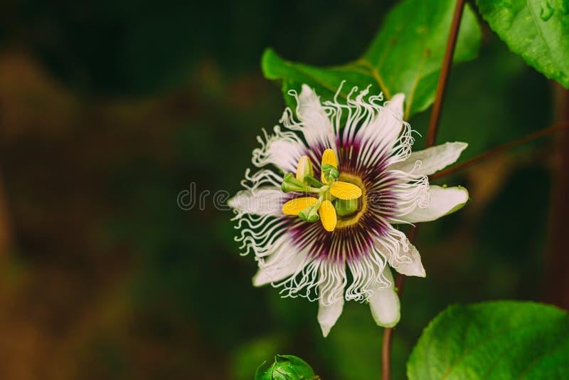 Pasyjnej owoc kwiat zdjęcie stock