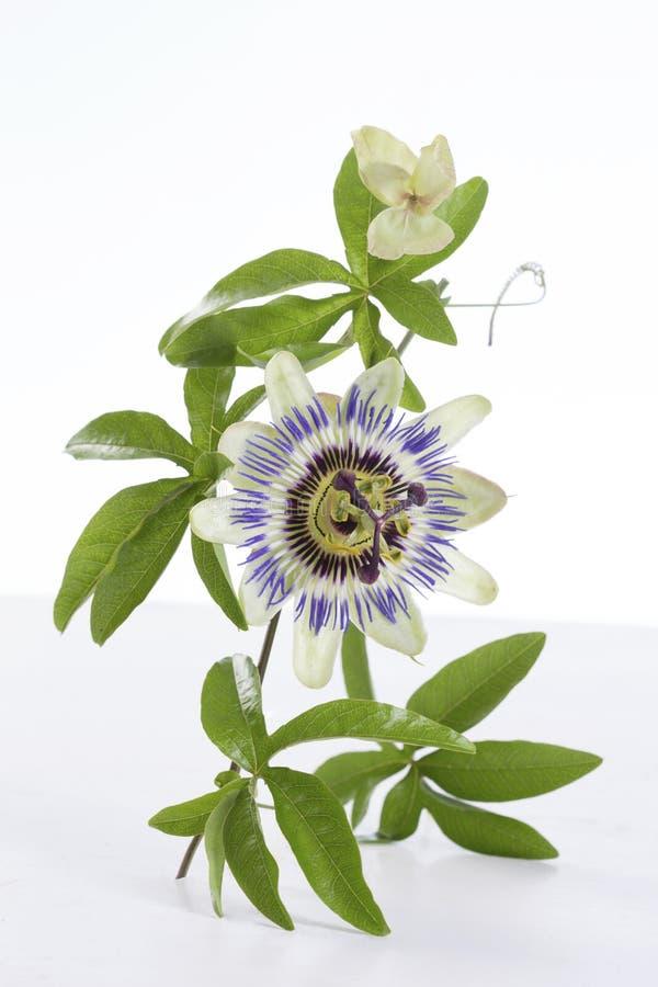 Pasyjnej owoc kwiat i liście Odizolowywający na białym tle fotografia stock