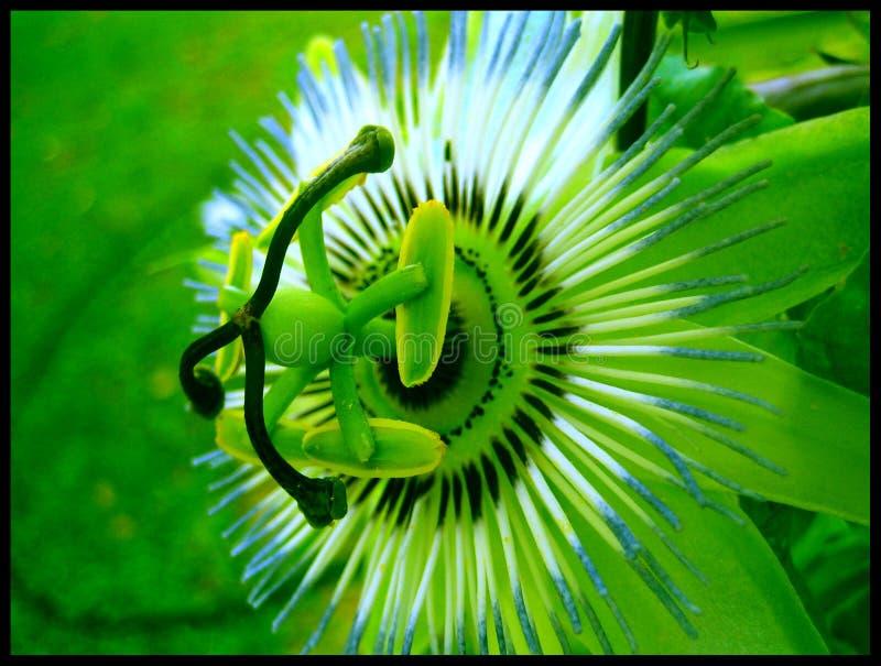 Pasyjnej owoc kwiatu makro- tła sztuki pięknej tapetowi druki obrazy stock