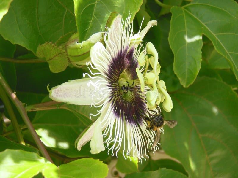 Pasyjnej owoc pszczoła i kwiat fotografia royalty free