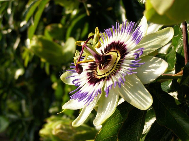 Pasyjny kwiat zdjęcie royalty free