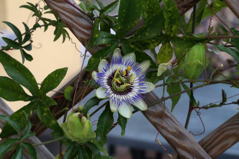 Pasyjny kwiat w ogródzie fotografia stock