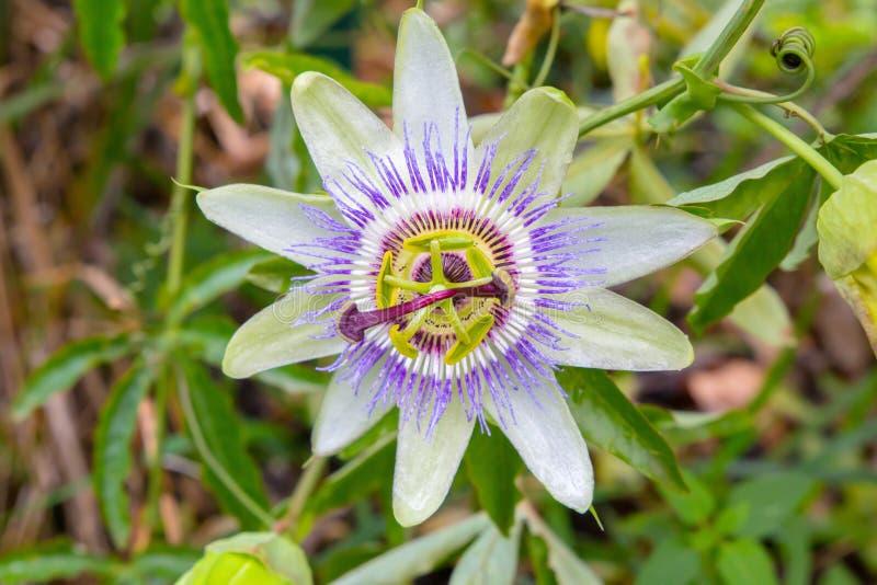 Pasyjny kwiatu Passiflora odizolowywający na zamazanym tle obrazy royalty free