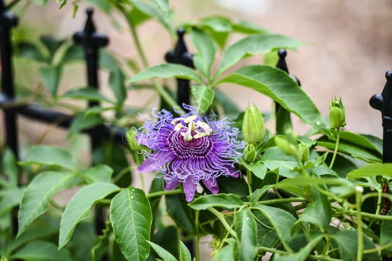 Pasyjny kwiatu zakończenie up, purpurowa i jaskrawa, rozmaitość fotografia royalty free