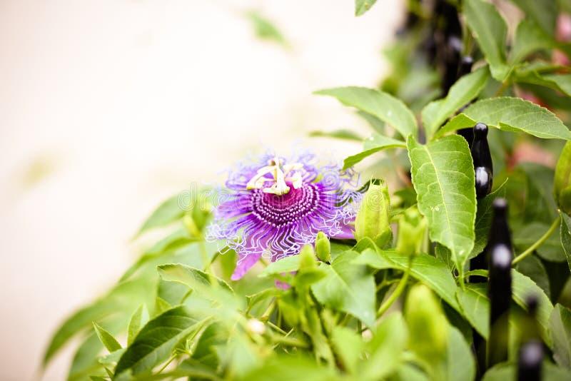 Pasyjny kwiatu zakończenie up, purpurowa i jaskrawa, rozmaitość fotografia stock