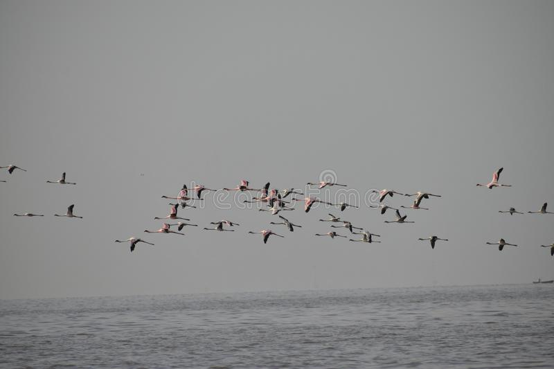 A pat of flying Flamingos. On visiting Flamingo point at Sweri, Mumbai, India, was able to capture a pat of flying Flamingos over the water bed stock photos