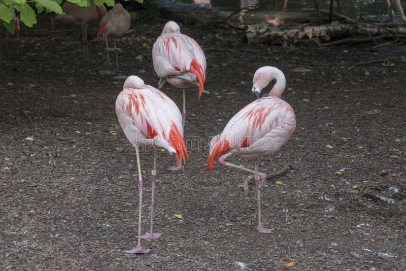Pat of flamingos. A pat of three flamingos stock photography