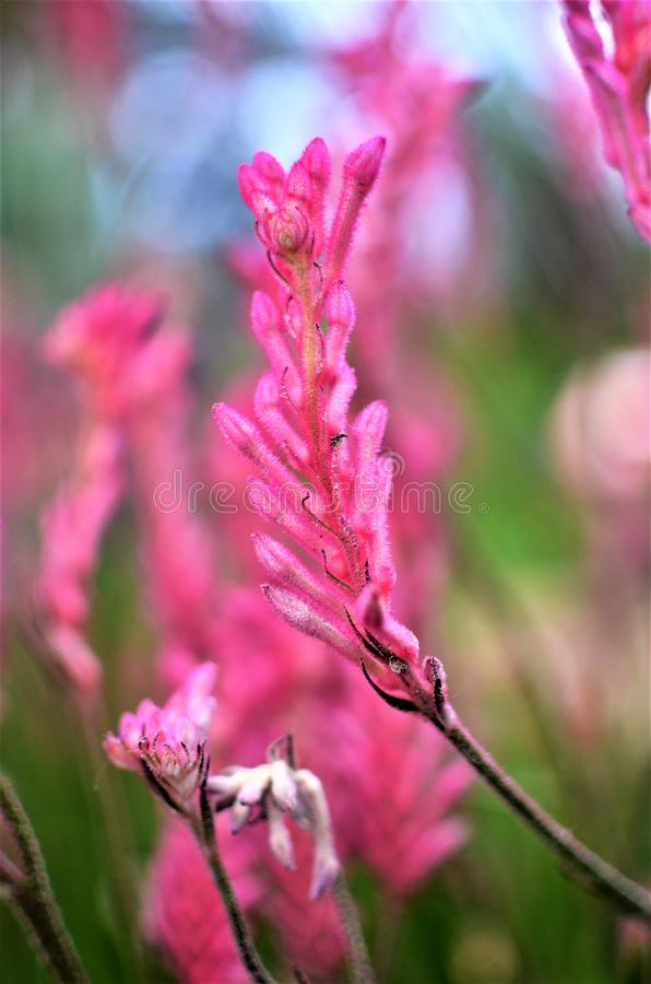 Pata de canguro rosada imagen de archivo libre de regalías