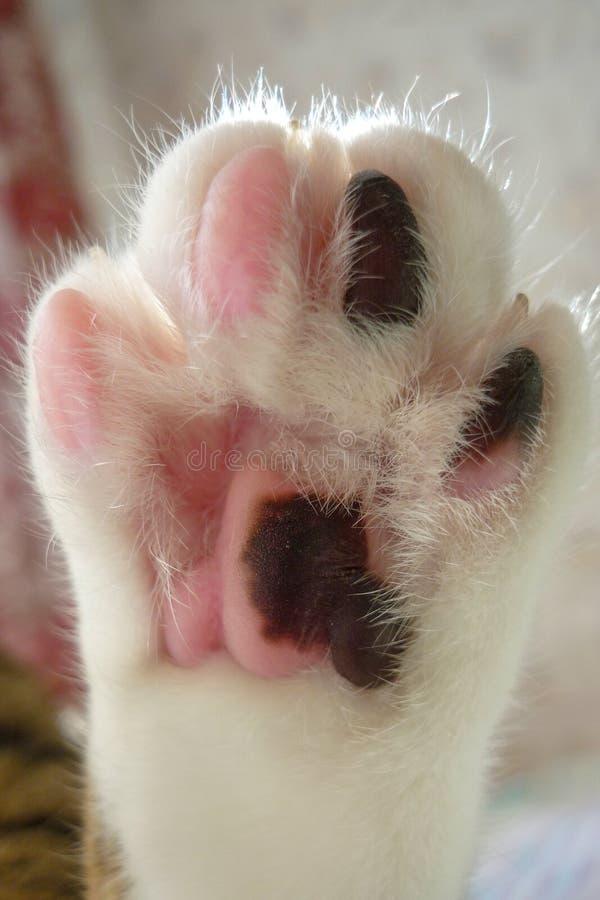 Pata de um fim do gato acima Rosa e pele preto e branco no p? de gato foto de stock royalty free