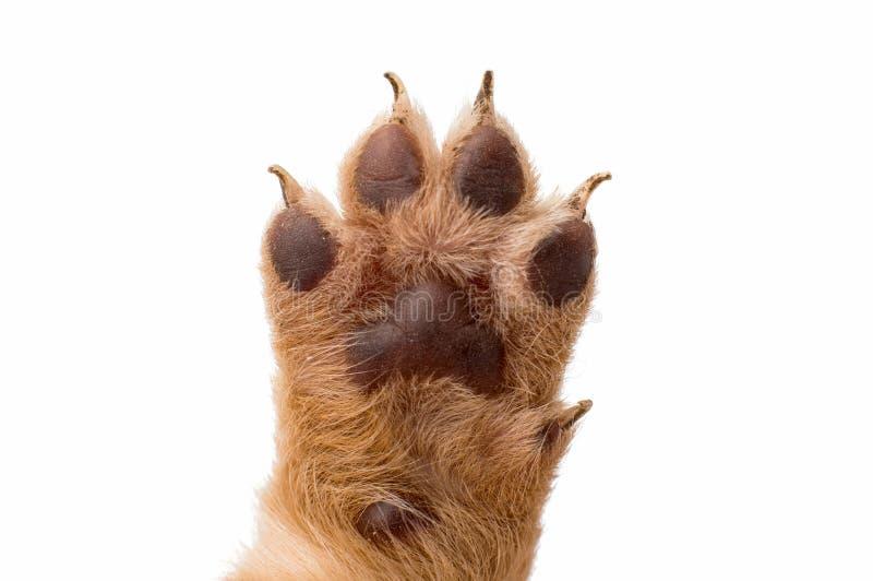 Pata del perro de perrito en el fondo blanco fotografía de archivo