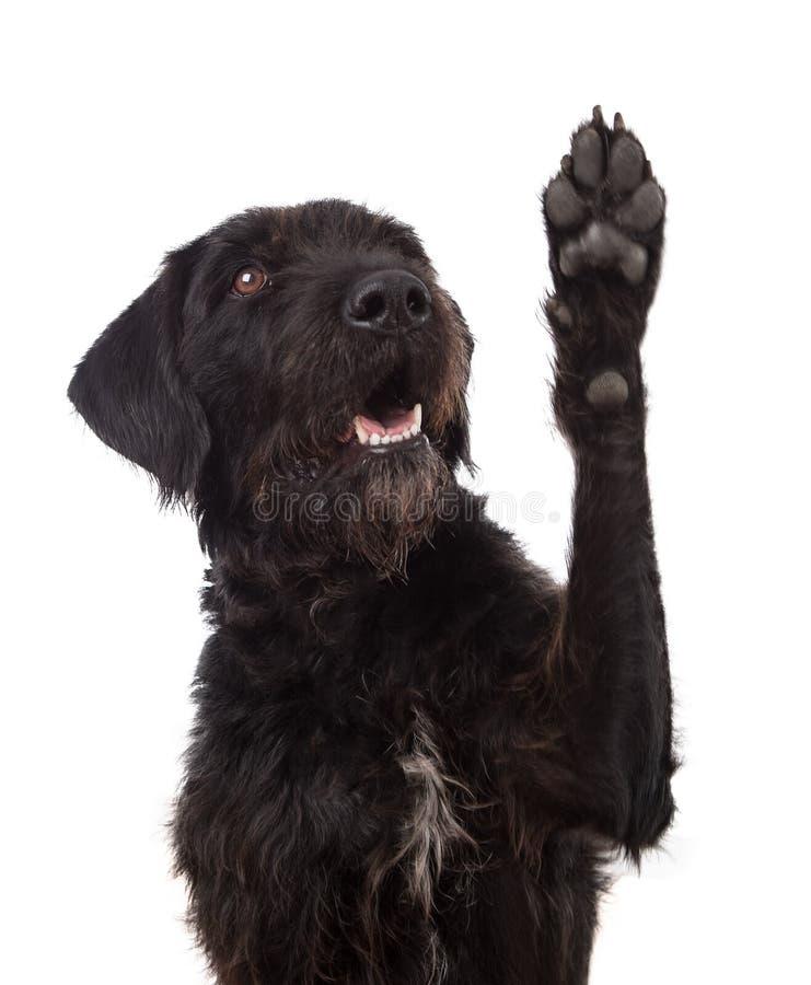Pata mezclada negra de la demostraci?n del perro de la raza aislada en el fondo blanco fotos de archivo libres de regalías