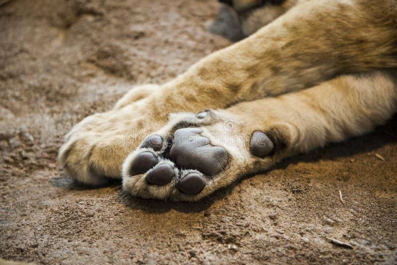 Pata o pie del león del detalle del primer fotografía de archivo
