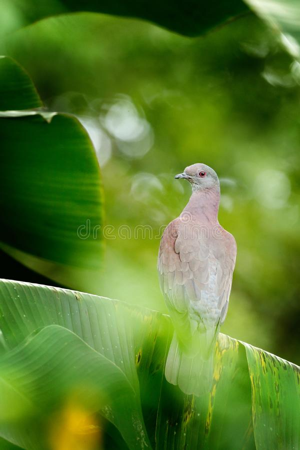 Patagioenas cayennensis, Pale-vented Pigeon, bird from Arnos Vale, Trinidad and Tobago. Pigeon sitting on the green palm leave. Wi. Ldlife scene from, nature stock image