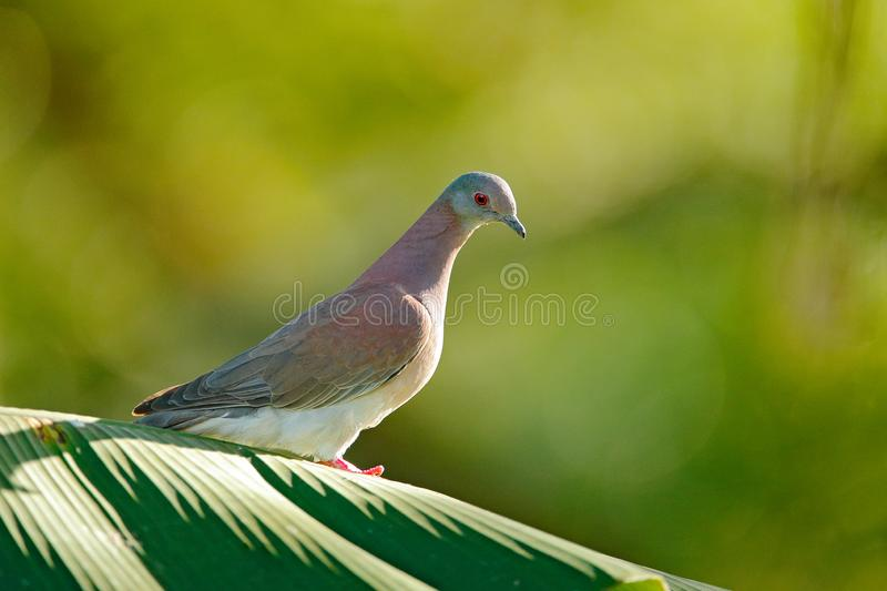 Patagioenas cayennensis, Pale-vented Pigeon, bird from Arnos Vale, Trinidad and Tobago. Pigeon sitting on the green palm leave. Wi. Ldlife scene from nature royalty free stock photography