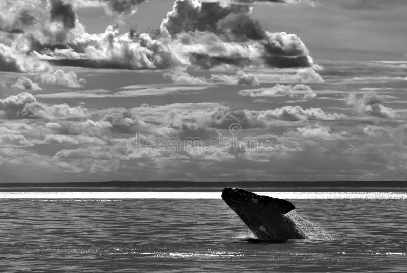 Patagonia Argentine de baleine photo stock