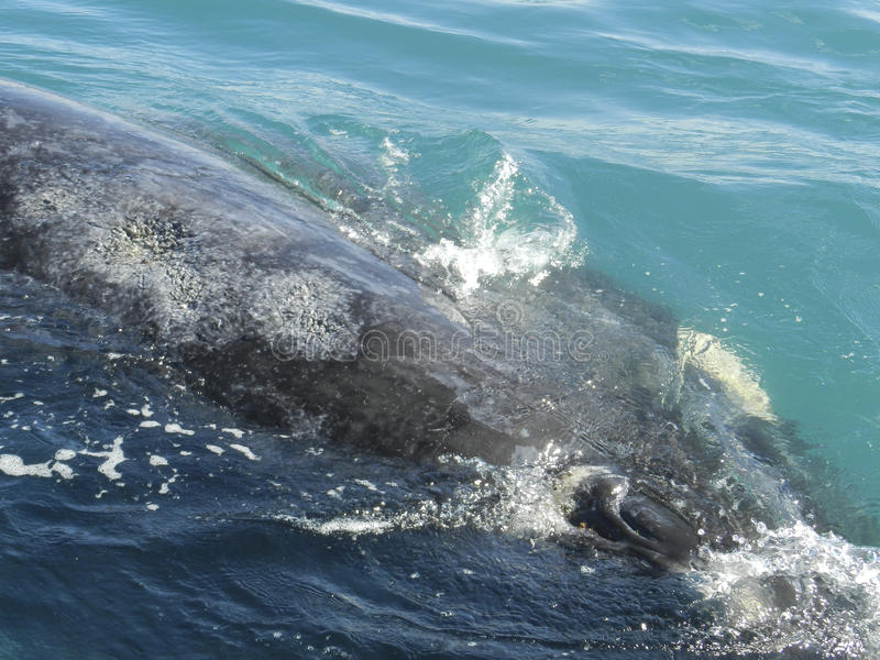 Patagonia. Balena di destra del sud fotografia stock