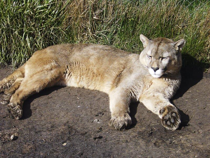 Patagonia de Puma Torres del Paine Chilean photos stock