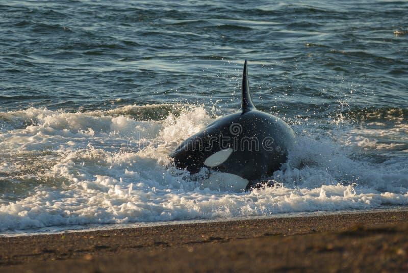 Patagonia dell'orca, Argentina fotografia stock libera da diritti