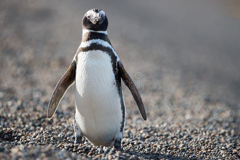 Patagonia pingwinu zakończenie w górę portreta zdjęcie royalty free