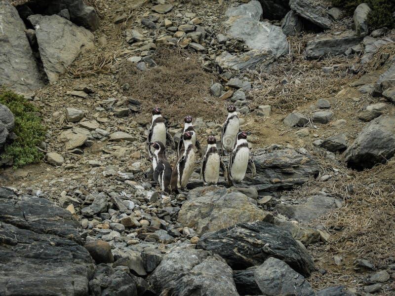 Patagonia salvaje de la familia del pingüino de Chile foto de archivo libre de regalías
