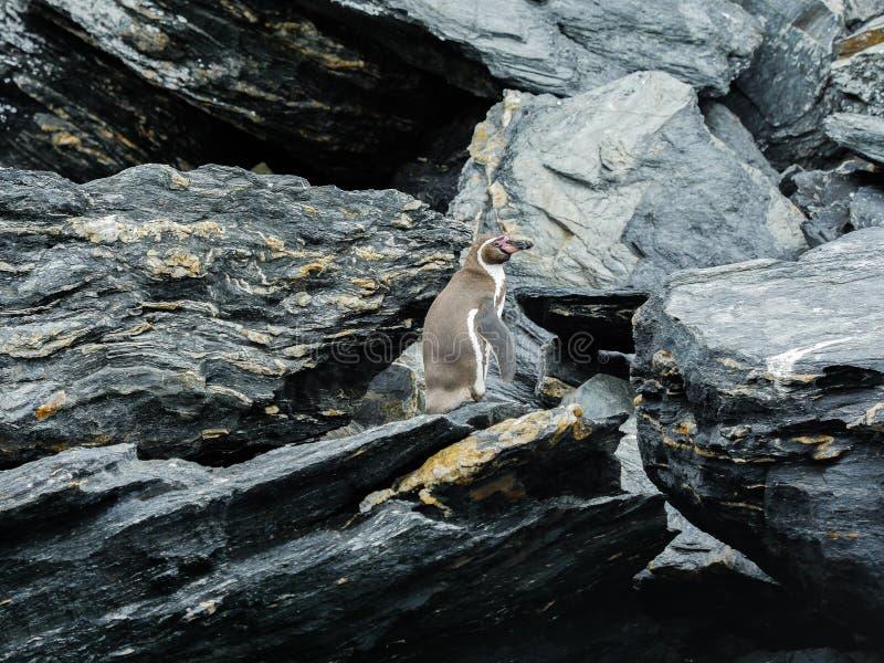 Patagonia selvaggia del pinguino del Cile sulle rocce fotografia stock