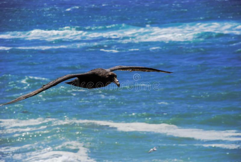 A Patagonian big eagle, flying with its long wings over the blue sea and sky near Tierra del Fuego-Argentina stock images