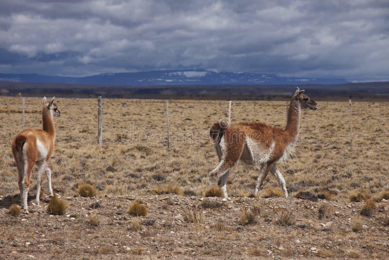 Patagonian djurliv arkivbild