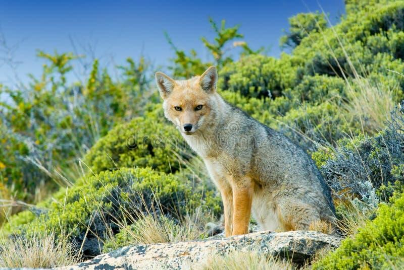 Patagonian Fox (Dusicyon culpaeus) stock photography