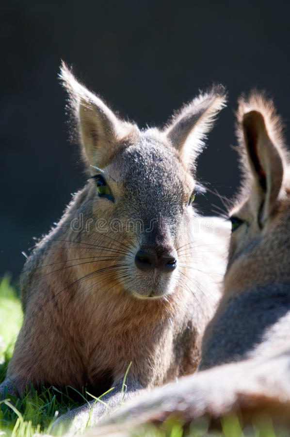 Download Patagonian Hare stock image. Image of brown, outside - 19580311