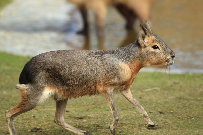Patagonian mara. The running patagonian mara in the grass royalty free stock images
