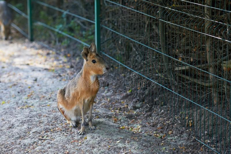 The Patagonian mara Dolichotis patagonum is a relatively large rodent in the mara genus Dolichotis. It is also known as the Patagonian cavy, Patagonian hare or royalty free stock images